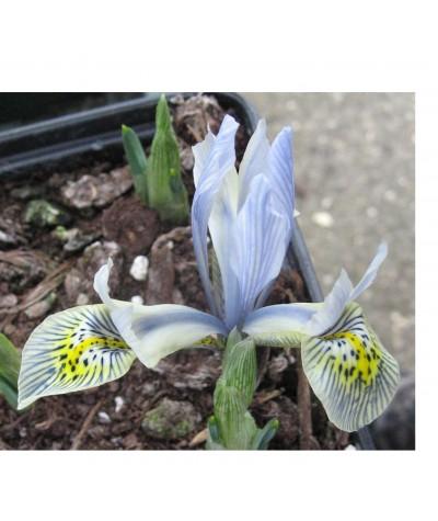 Iris reticulata Katharine Hodgkin (1.5lt)