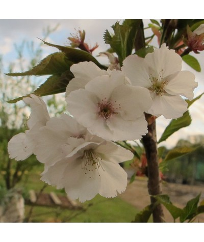 Prunus Sunset Boulevard (17.5lt)