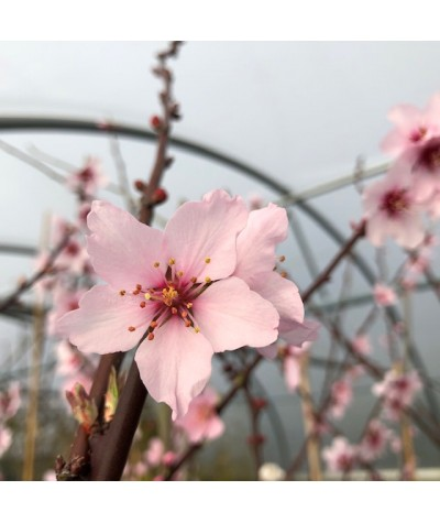 Prunus x persicoides 'Ingrid' (F) - St. Julien 'A' Rootstock (12lt)