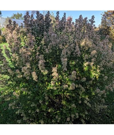 Abelia chinensis (2lt)