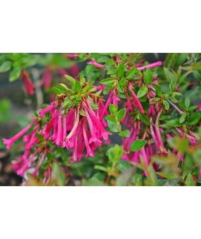 Abelia floribunda (3lt)