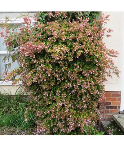 Abelia x grandiflora Francis Mason (3lt)