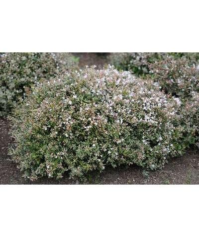 Abelia x grandiflora Confetti (2lt)