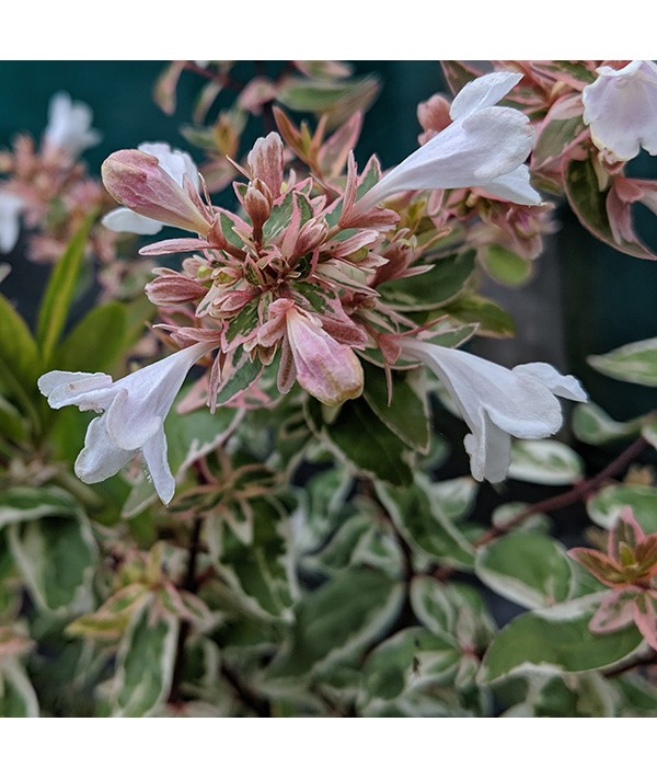 Abelia x grandiflora Sparkling Silver (2lt)