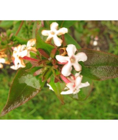 Abelia mosanensis (2lt)