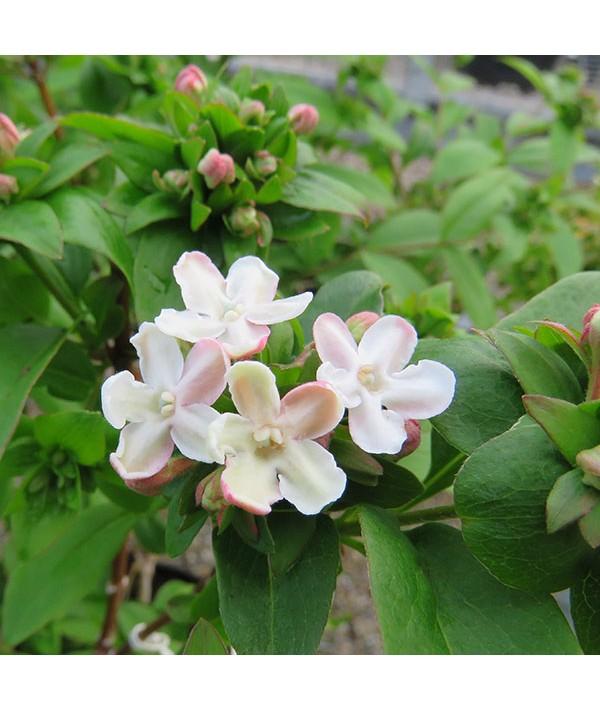 Abelia mosanensis (3lt)