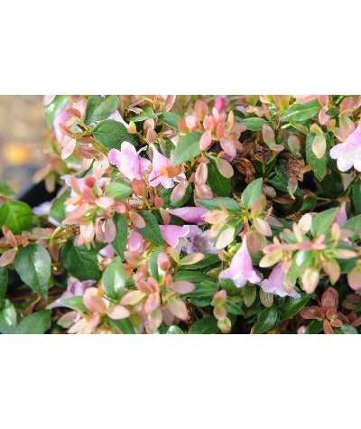 Abelia schumannii (3lt)