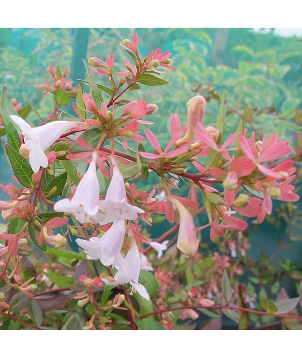 Abelia x grandiflora (2lt)
