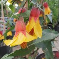 Abutilon Kentish Belle (2lt)