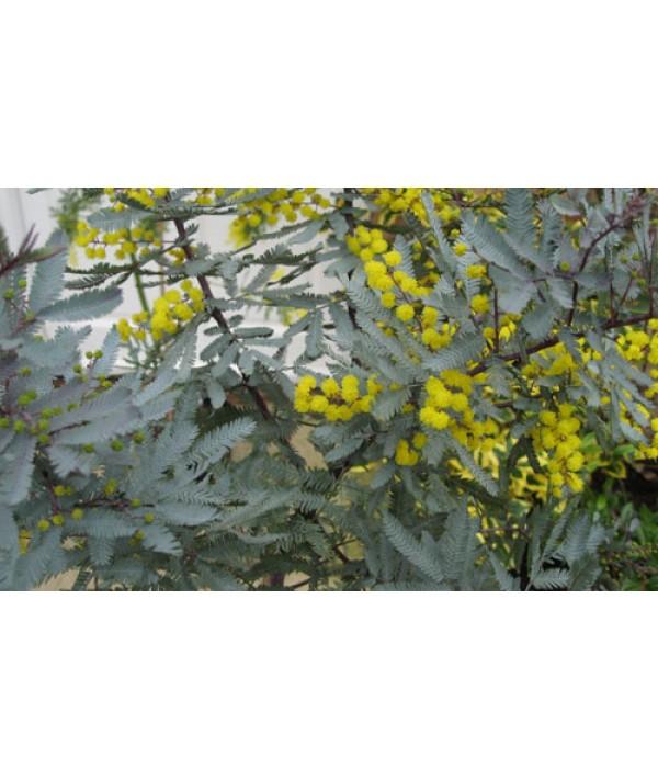 Acacia baileyana Purpurea (10lt)