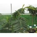 Acacia dealbata (3lt)