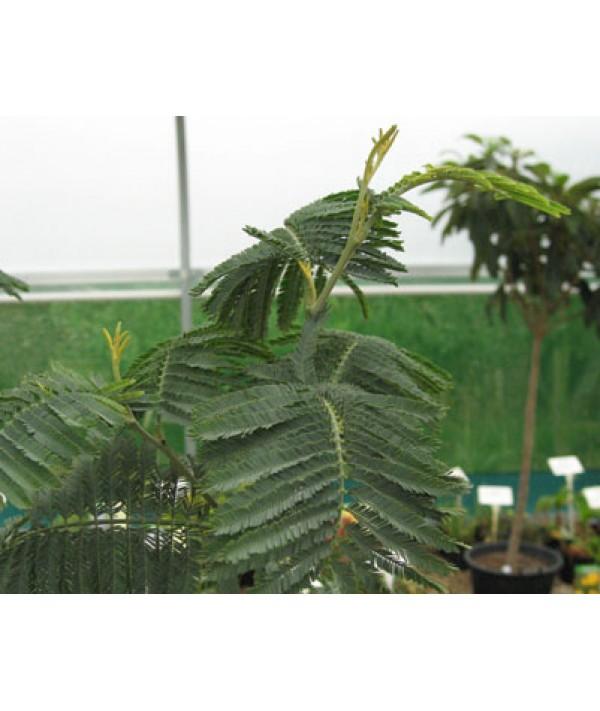 Acacia dealbata (2lt)