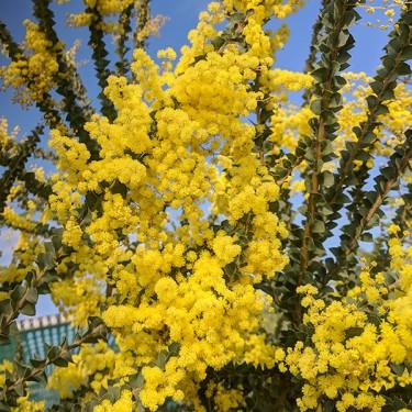 Stories from Langthorns - Acacia pravissima