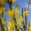 Acacia pravissima (3lt)