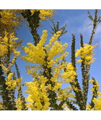 Acacia pravissima (7.5lt)