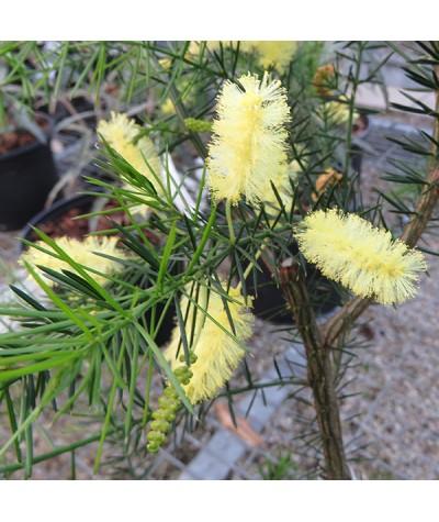 Acacia verticillata (3lt)