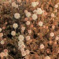 Acaena microphylla Kupferteppich (9cm)