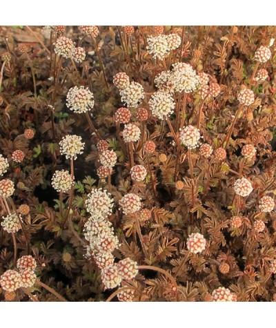 Acaena Microphylla Kupferteppich 9cm