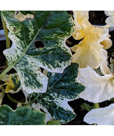 Acanthus Whitewater (3lt)