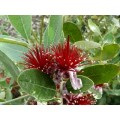 Acca sellowiana (2lt)