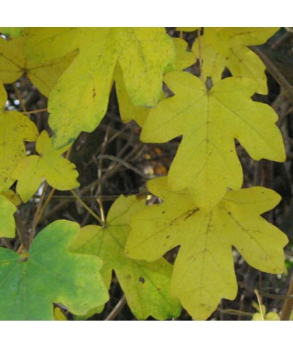 Acer campestre (bare root 60-80cm)