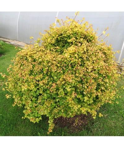 Acer campestre Postelense (10lt)