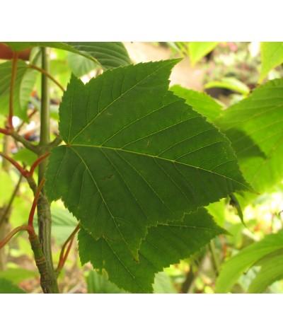 Acer capillipes (3lt)