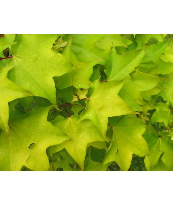 Acer cappadocicum Aureum (13.5lt)