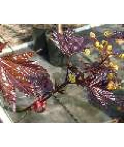 Acer platanoides Crimson King (15lt)