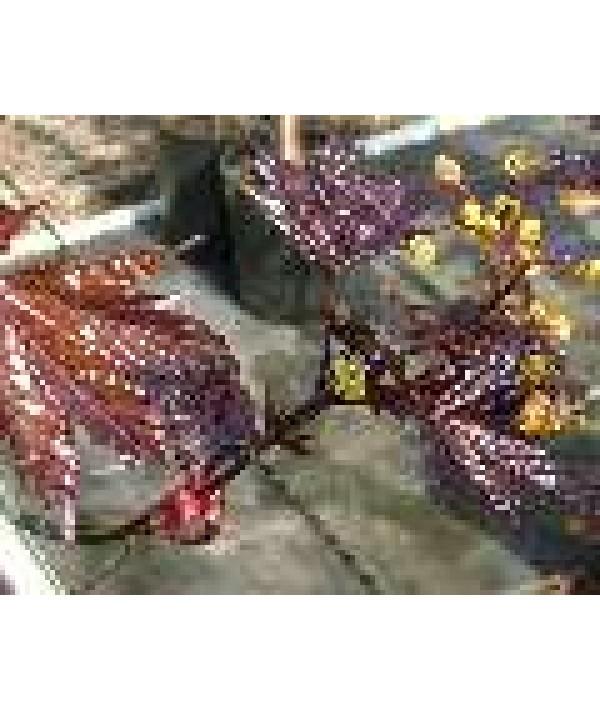 Acer platanoides Crimson King (17.5lt)