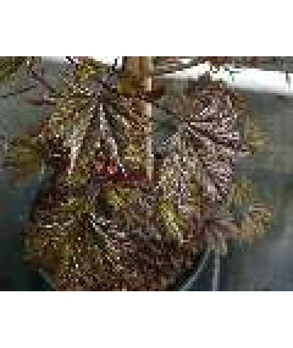 Acer platanoides Crimson Sentry (13.5lt)