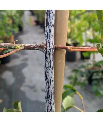 Acer davidii Serpentine (7lt)