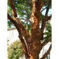 Acer griseum (3lt)