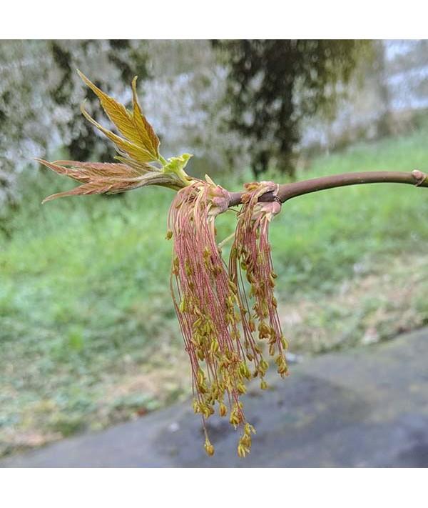 Acer negundo Violaceum (7.5lt)