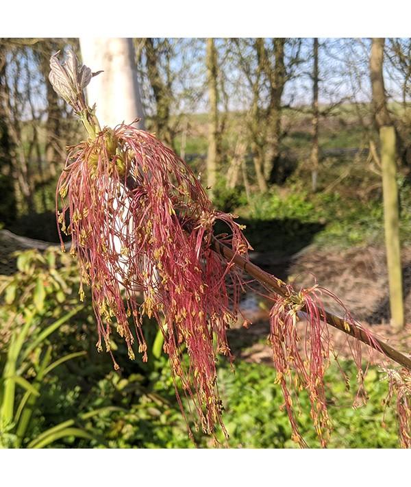 Acer negundo Violaceum (10lt)