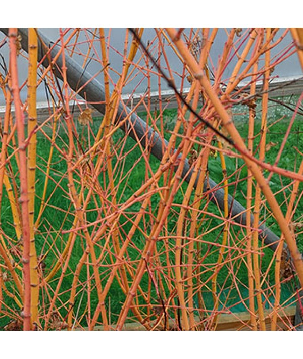 Acer palmatum Bi Ho (20lt)