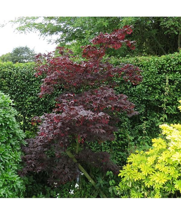 Acer palmatum Bloodgood (7.5lt)