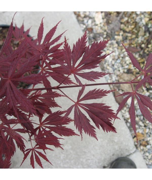 Acer palmatum Burgundy Lace (7.5lt)