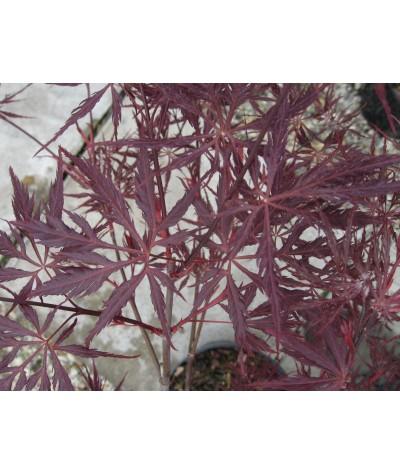Acer palmatum dissectum Garnet (35lt)