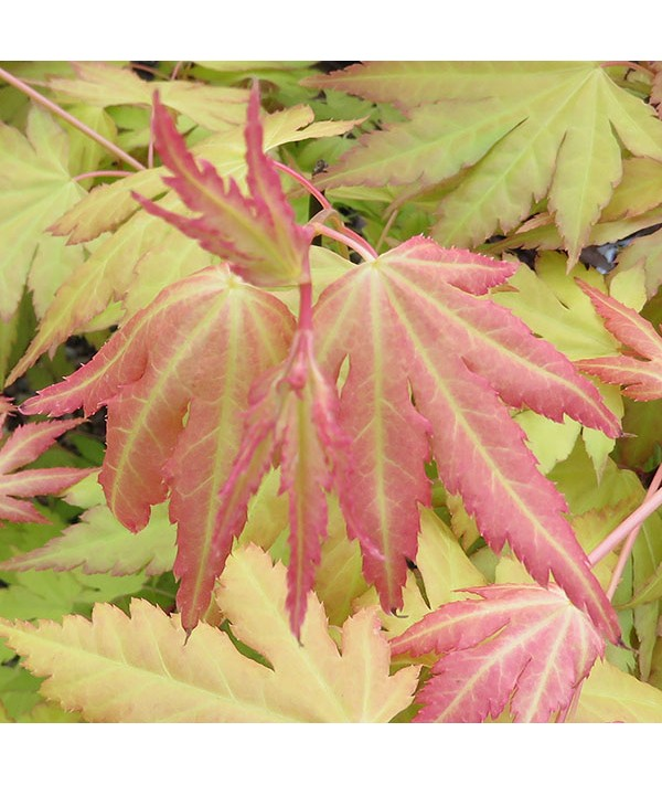 Acer palmatum Orange Dream (7.5lt)