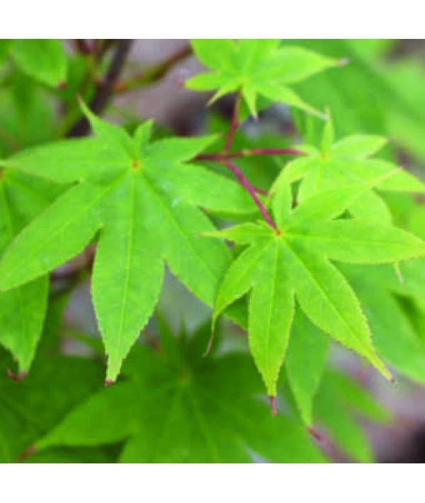 Acer palmatum Osakazuki (7.5lt)