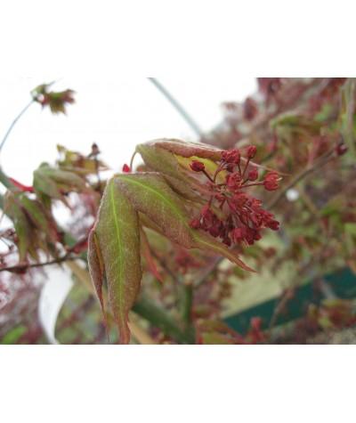 Acer palmatum Osakazuki (40lt)