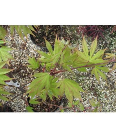 Acer palmatum Osakazuki (35lt)