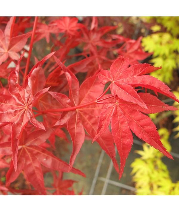 Acer palmatum Shindeshojo (3lt)