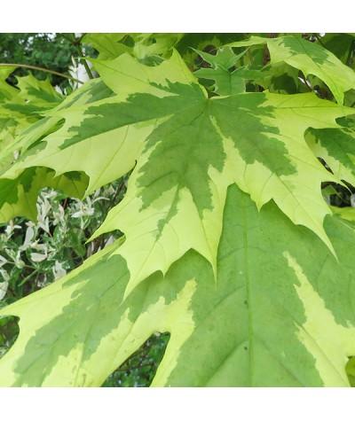 Acer platanoides Drummondii (12lt)