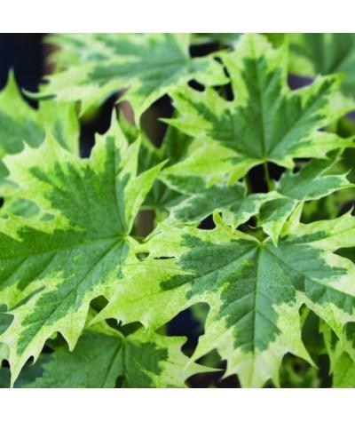 Acer platanoides Drummondii (10lt)