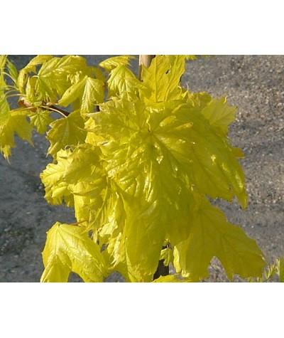 Acer platanoides Princeton Gold (15lt)