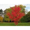 Acer rubrum October Glory (17.5lt)