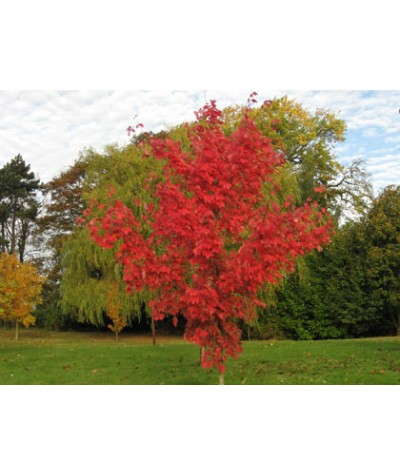 Acer rubrum October Glory (17.5lt)
