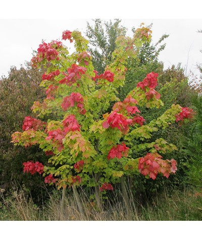 Acer rubrum October Glory (1.5lt)